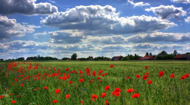 field-of-poppies-brandenburg-nature-royalty-free-86431.jpeg